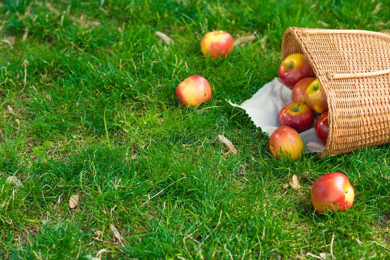Organic apples in basket in summer grass. Fresh apples in nature.  stock images