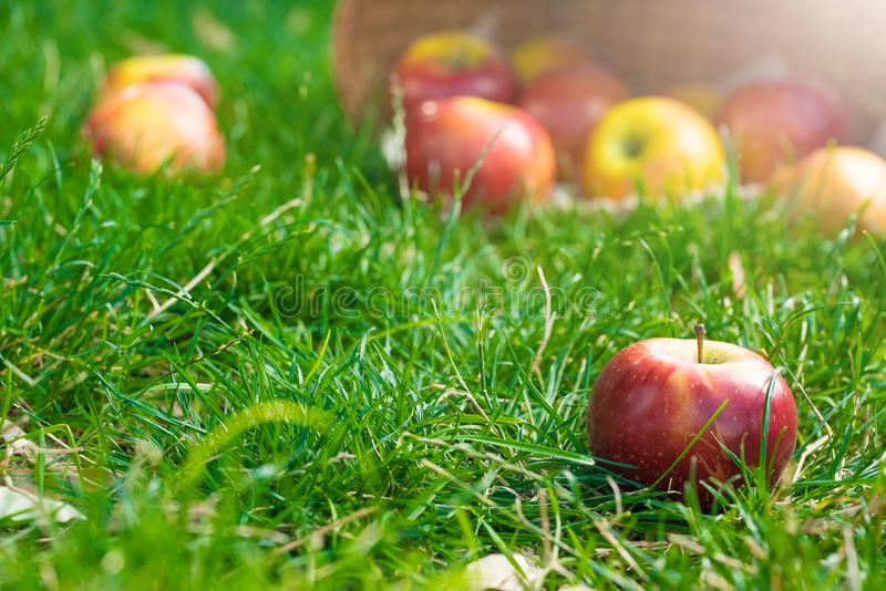 Organic apples in basket in summer grass. Fresh apples in nature.  royalty free stock photos