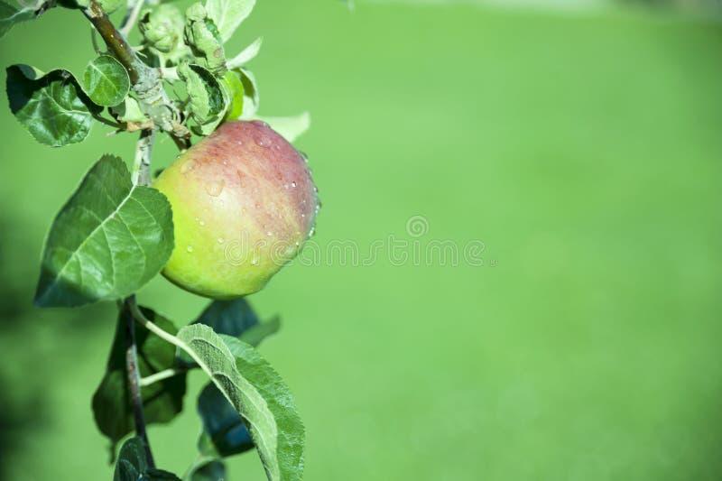 Organic Apples Closeup with rain drops stock images