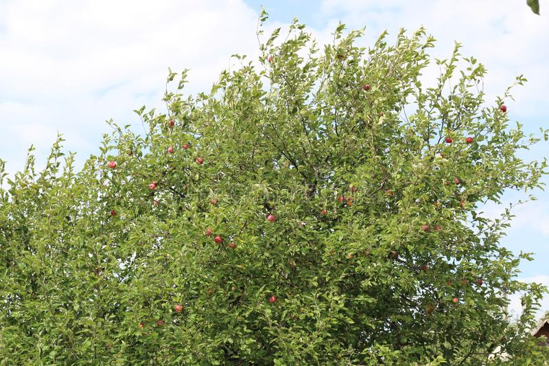 Organic apples hanging from a tree branch in an apple orchard royalty free stock photos