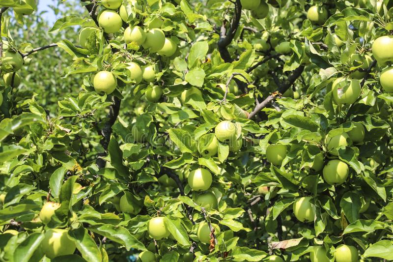 Organic apples hanging from a tree branch in an apple orchard. On a summer sunny day stock image