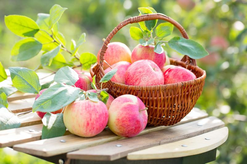 Organic apples and pears in basket on a wooden table, outdoors royalty free stock photos