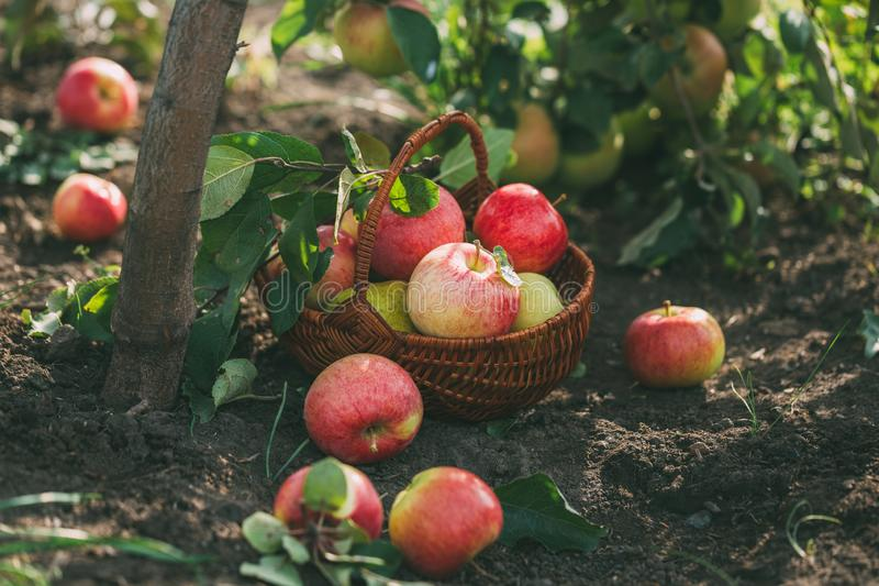 Organic apples and pears in basket on a wooden table, outdoors stock photo