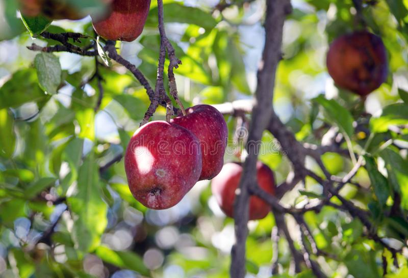 Organic apples on the tree. Show insect bites, rotten spots, scab virus and smaller size royalty free stock images