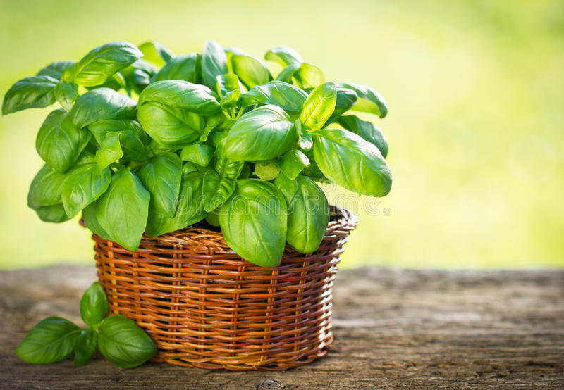 Organic basil plant. In the basket on the wooden table stock photo