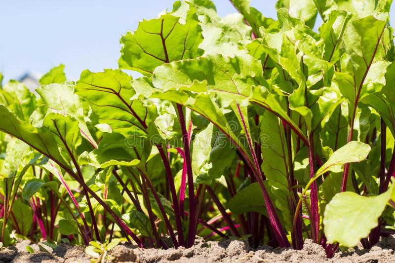 Organic beet green leaves growing in the garden, household background, young vegetables royalty free stock photography