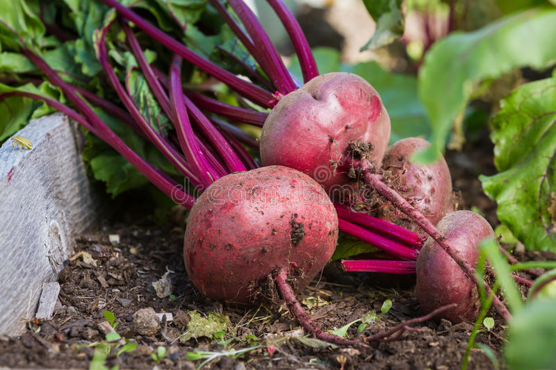 Organic beets royalty free stock images