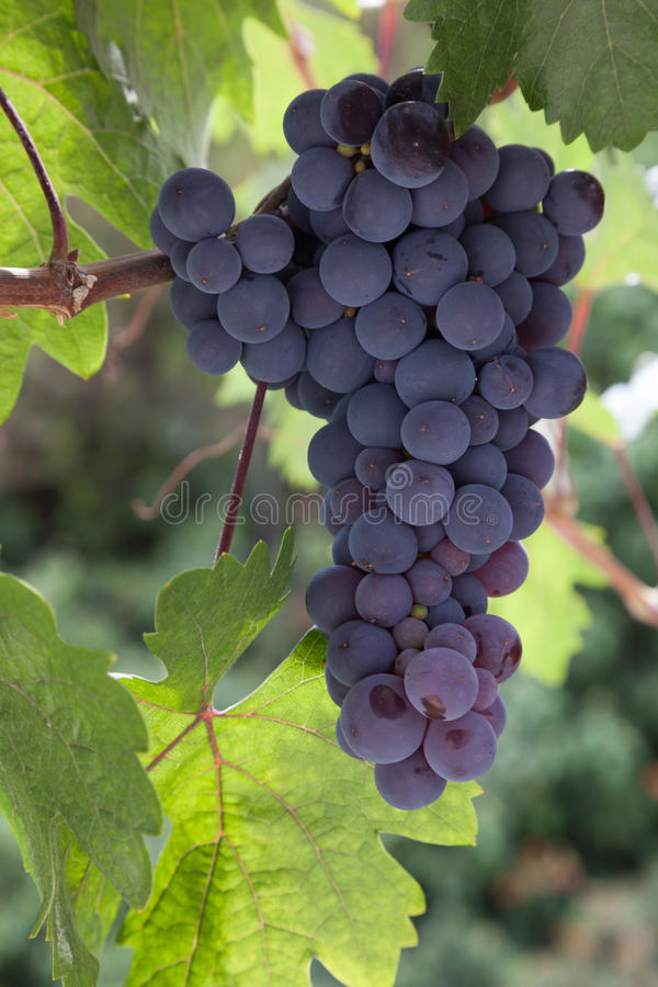 Organic Bunch of grapes 1 royalty free stock image