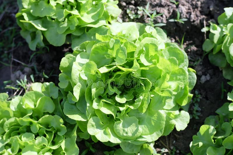 Organic cabbage growing in soil stock image