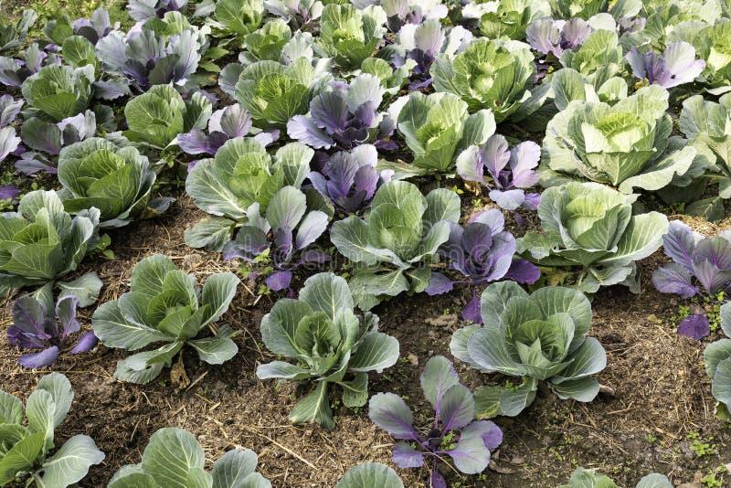 ORGANIC CABBAGE FARM POKHARA NEPAL stock photo