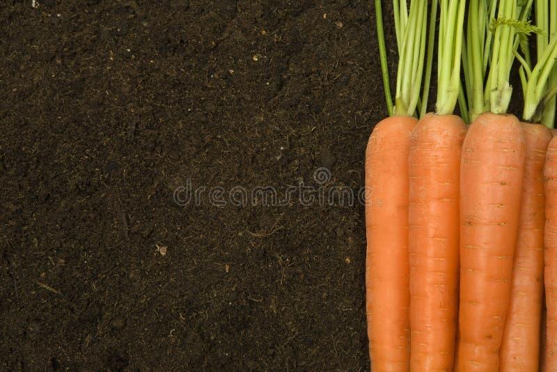 Organic carrots royalty free stock photography