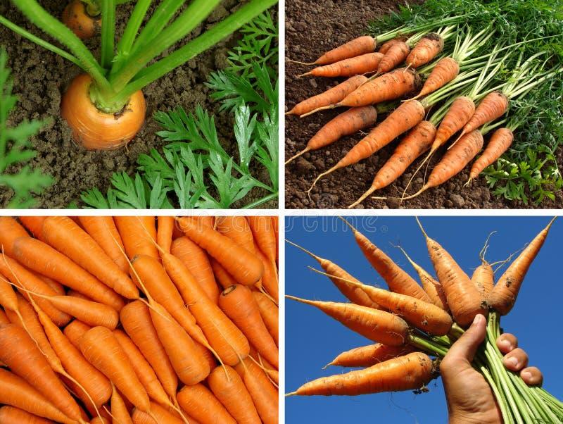 Organic carrots collage stock photos