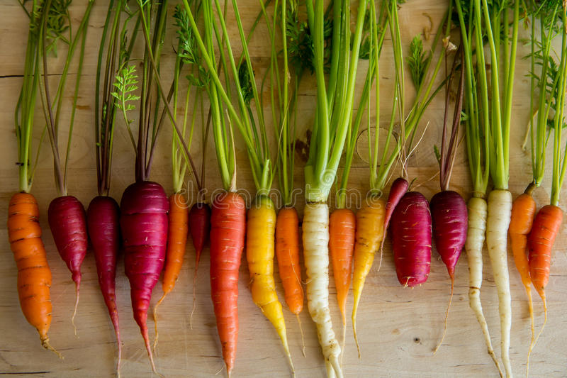 Organic Carrots. Colorful carrots from organic garden royalty free stock photos