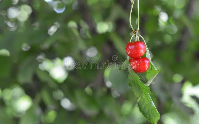 Download Organic Cherries stock image. Image of food, diet, juice - 32230247