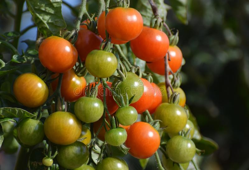 Cherry tomatoes ripening as they grow on the vine. An organic cherry tomato plant or vine with tomatoes ripening. The image shows red and green tomatoes, ripe royalty free stock photography