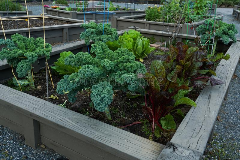 Organic Community Garden. With rubbarb, kale and romaine, allotment, compost, dig, dirt, enjoyment, food, front, view, gardening, green, growing, harvest stock image