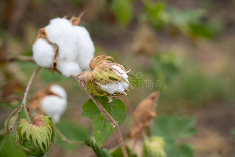 Mexican Cotton Upland Cotton, 8 Ball Dried Cotton Stem Gossypium Hirsutum