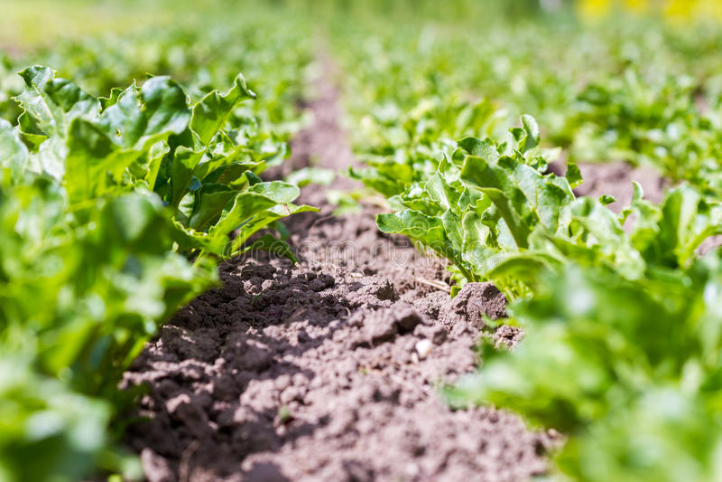 Organic crops growing on brown soil stock image