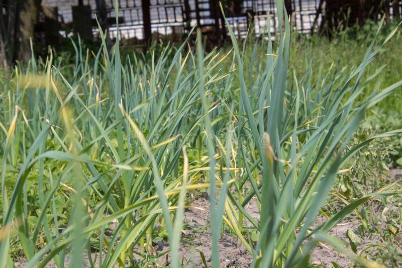 Garlic field. Organic cultivation garlic on the garden beds stock photo