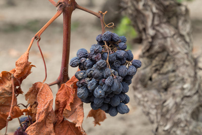 Organic Dry Raw Raisins on the Vine, Dried Grapes royalty free stock photo