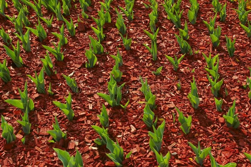 Organic Ecology Background. A Garden Of All Seasons. Green Leaves Of Tulips Growing In Solid. Abstract Nature Background royalty free stock images