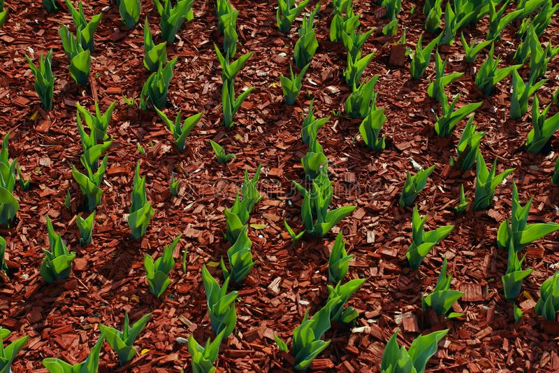Organic Ecology Background. A Garden Of All Seasons. Green Leaves Of Tulips Growing In Solid. Abstract Nature Background stock photo