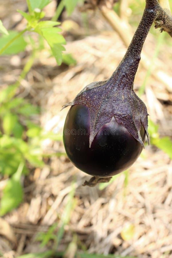 The Organic Eggplant royalty free stock photos