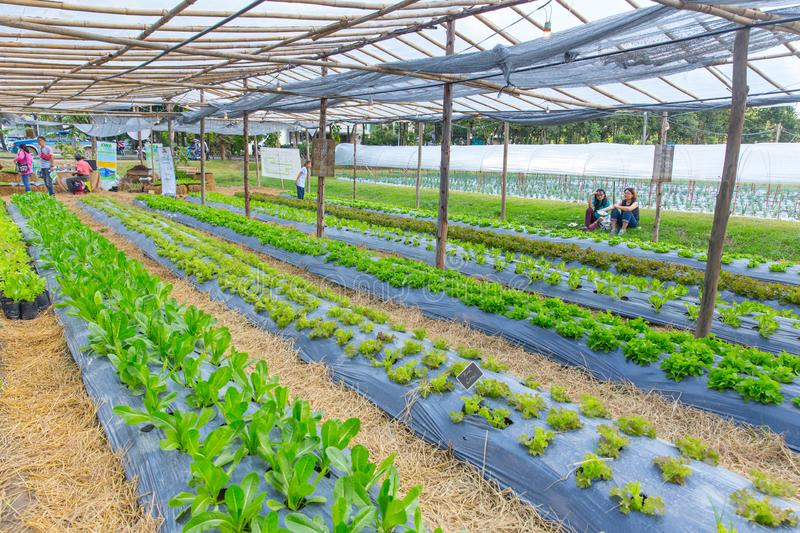 Organic farm agricuture plant with green oak and red coral lettuce salad. Vegetable.,16 November 2017, Chiangmai, Thailand royalty free stock photography
