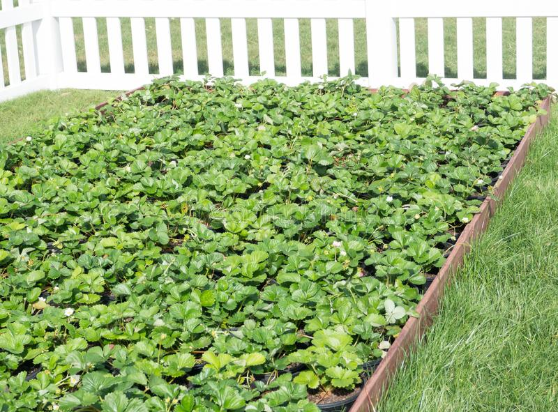 The Organic farm Green strawberry patch at backyard garden with white fence. royalty free stock photos
