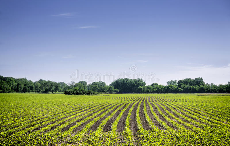 Organic farm land with rows royalty free stock image