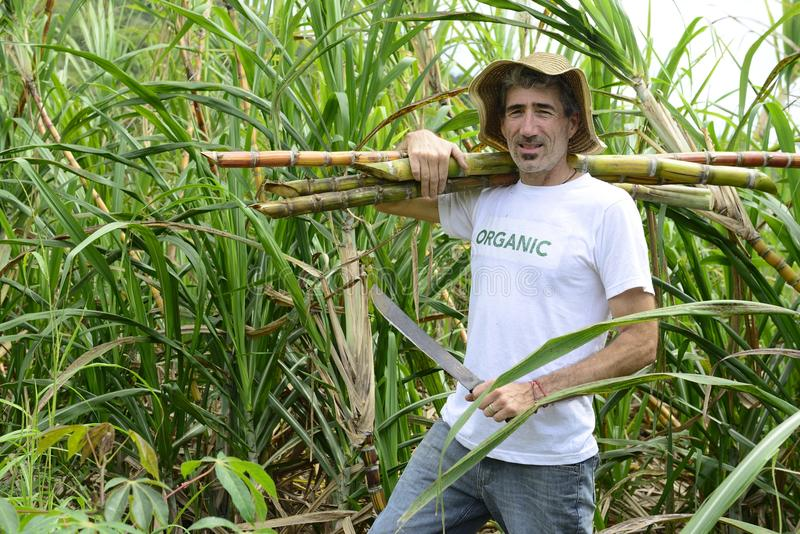 Organic farmer carrying sugar cane. In front of plantation stock images