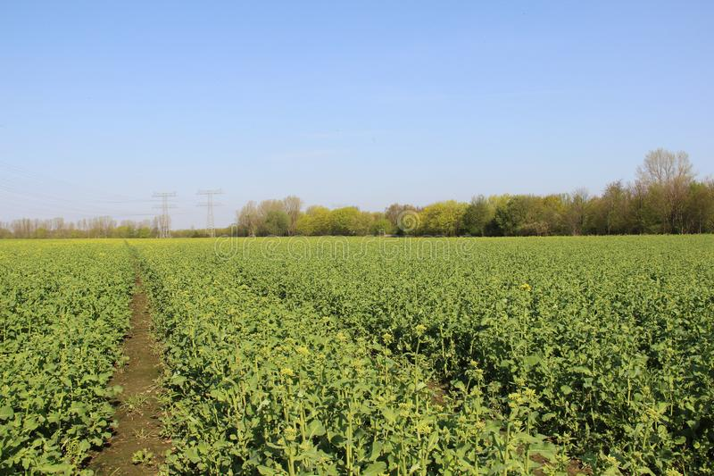 Organic Farming Mustard Field In Springtime royalty free stock images