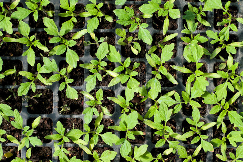 Organic farming, seedlings growing in greenhouse. stock photo