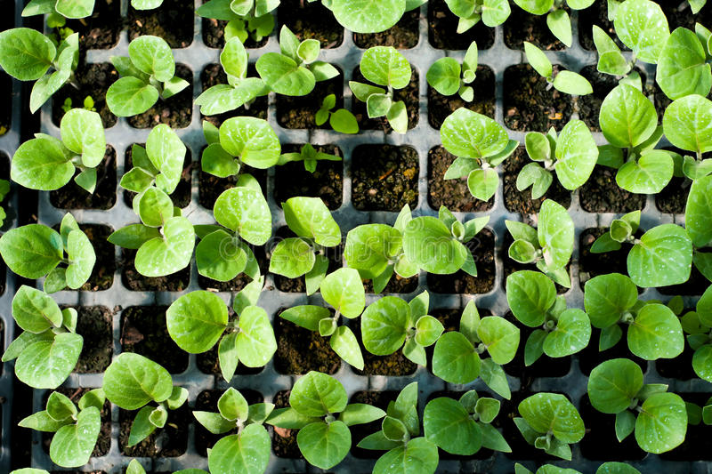 Organic farming, seedlings growing in greenhouse. stock photography