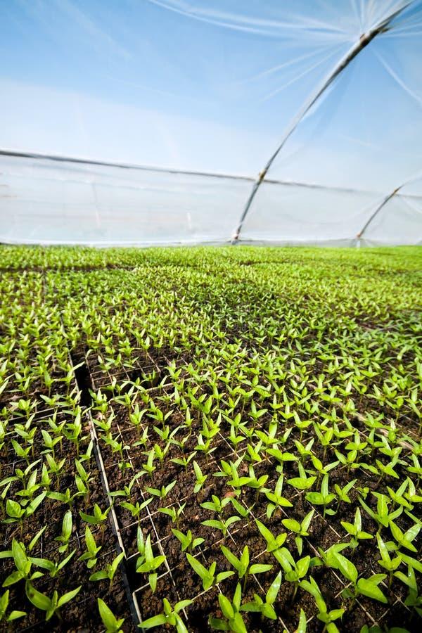 Organic farming, seedlings growing in greenhouse. stock photos