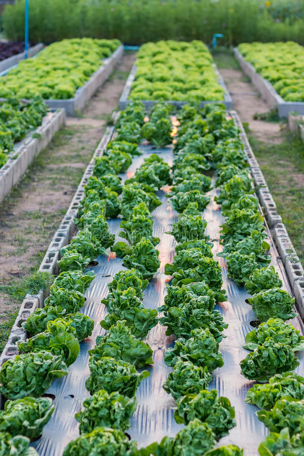 Organic Farmland Crops. In Chiang mai, thailand stock image