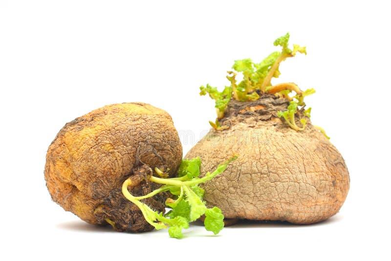 Organic food - two natural turnip stock photography