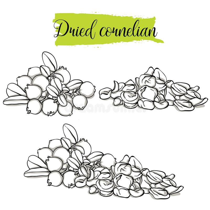 Hand drawn sketch style Cornelian set. Single, group fruits, dried Dogwood. Organic food, vector doodle illustrations collection isolated on white background royalty free illustration