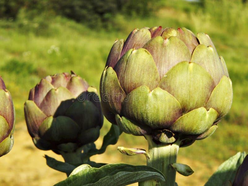 Organic fresh artichoke. At ecologic field royalty free stock images