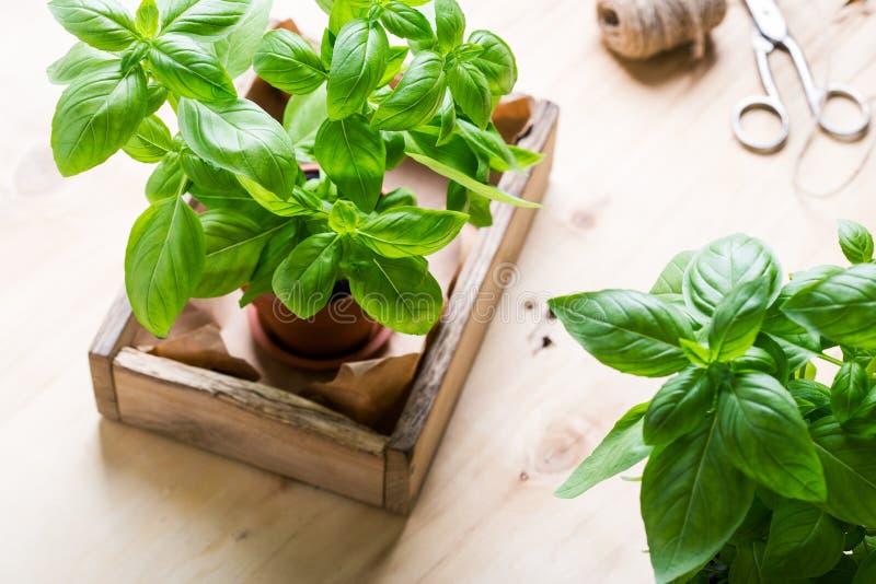 Organic fresh basil plant in pot, home gardening, plant care. Organic fresh basil plant in flower pot, home gardening, plant care, hobbies, close up, selective royalty free stock photos