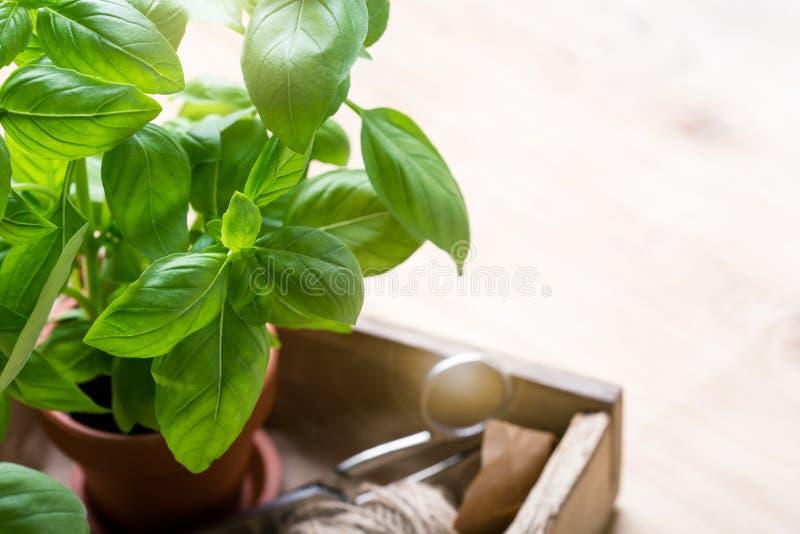 Organic fresh basil plant in pot, home gardening, plant care. Organic fresh basil plant in flower pot, home gardening, plant care, hobbies, close up, selective stock photos