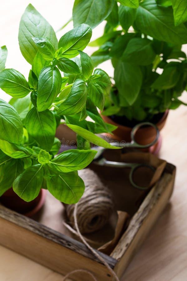 Organic fresh basil plant in pot, home gardening, plant care. Organic fresh basil plant in flower pot, home gardening, plant care, hobbies, close up, selective stock image