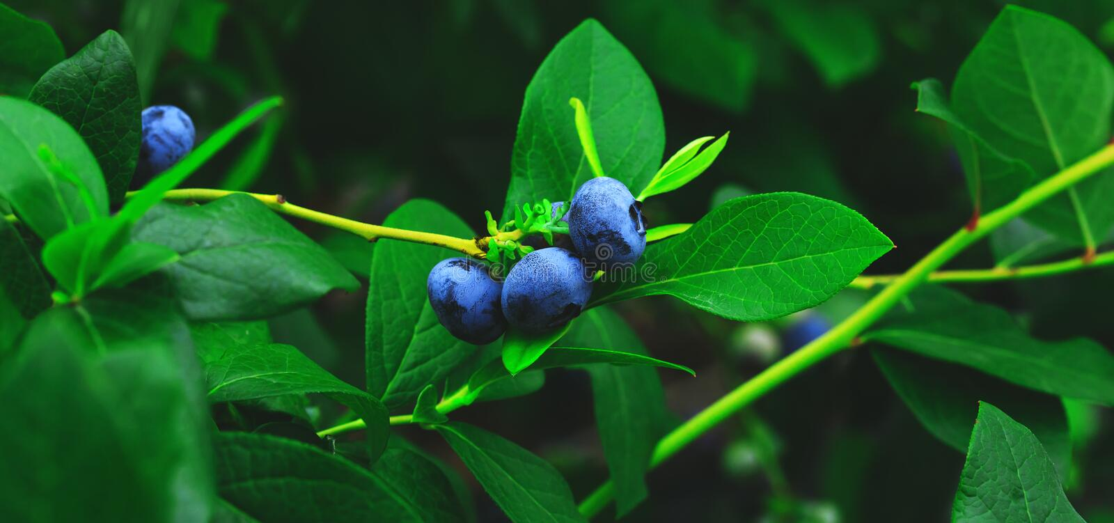 Organic and fresh blueberries on the branch of blueberry field farm. Real blueberries farm in harvest season and bunch of ripe royalty free stock photography