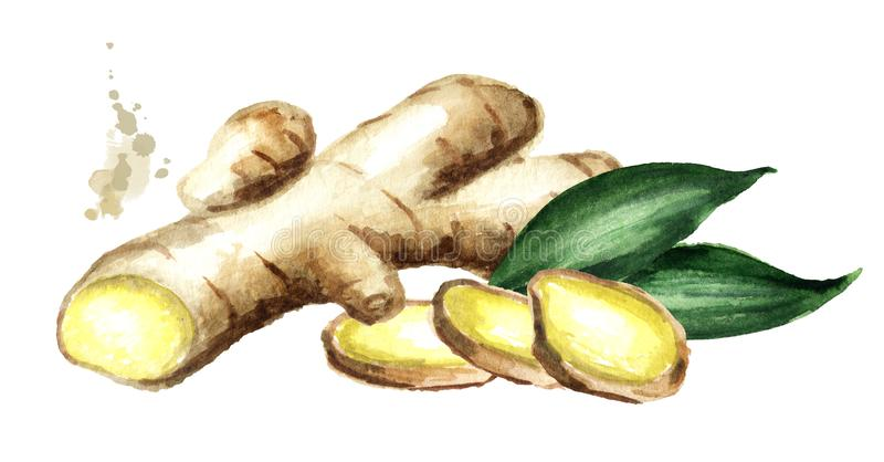 Organic fresh ginger Root with slice. Watercolor hand drawn illustration, isolated on white background. Organic fresh ginger Root with slice. Watercolor hand vector illustration