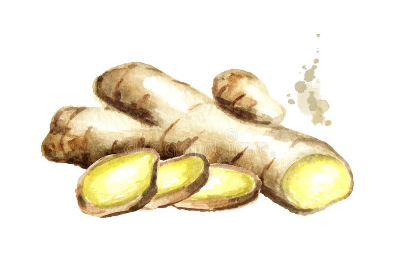 Organic fresh ginger Root with slice. Watercolor hand drawn illustration, isolated on white background.  stock illustration
