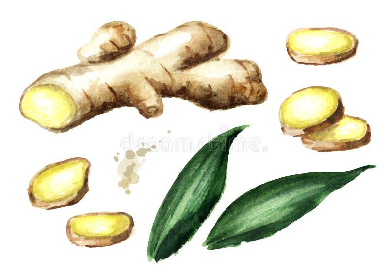 Organic fresh ginger set. Root, leaf, slice. Watercolor hand drawn illustration, isolated on white background. Organic fresh ginger set. Root, leaf, slice vector illustration