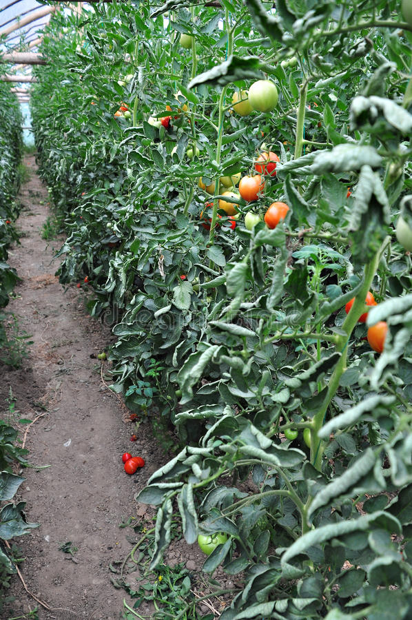 Download Organic garden stock photo. Image of leaves, harvest - 26338442