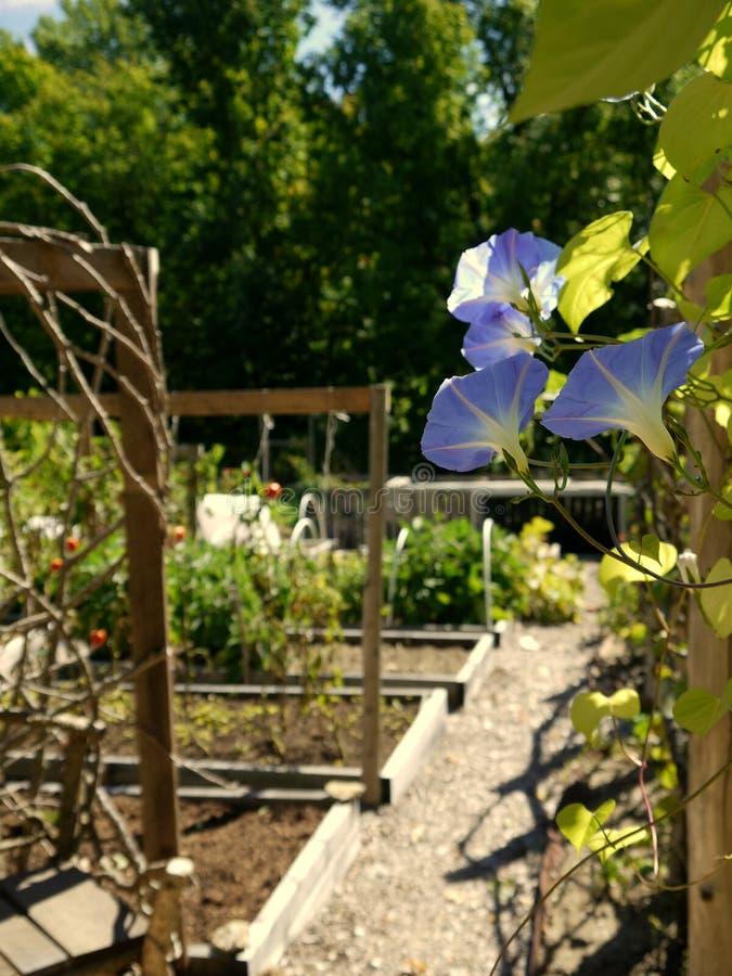 Organic garden: blue morning glory flowers on fence stock photo