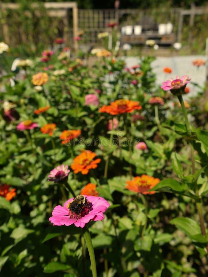 Organic garden: pink orange zinnia flowers bee stock images