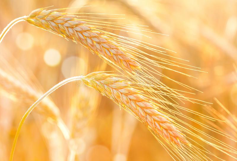 Organic golden ears of rye during harvest in the sunset light, macro. Beautiful nature landscape of agriculture field royalty free stock photography